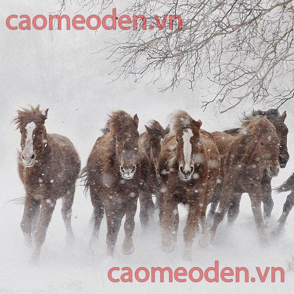 Ngựa Mông Cổ